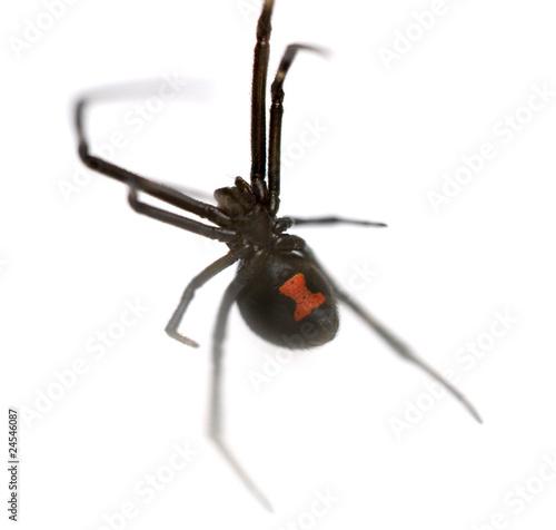 Black Widow - 24546087