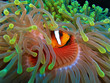 Anemon fish inside green anemonf