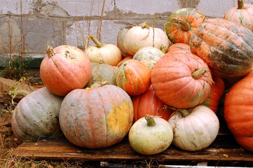 harvest of many big ripe autumn pumpkin