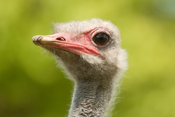 ostrich portraite 8228