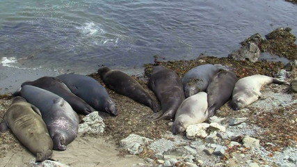 Elephant seals on beach - HD