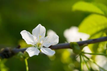 Cherry flower, macro