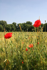 Corn poppies in front of a wheat field