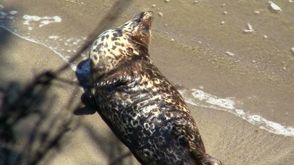 Harbor seal on beach - HD