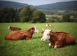 horned cattle