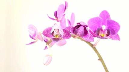 """Orchidée (Phalaenopsis """"Calimero"""")."""
