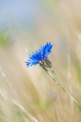 cornflower in the wind