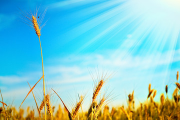 field of wheat with shining sun