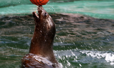 Seal playing with her ball
