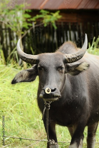 Angry stare from a water buffalo
