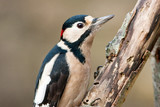 Great Spotted Woodpecker Adult Male on Rotten Branch poster