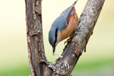 Nuthatch with Grub in Bill on Rotten Branch poster