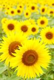 Fototapeta pole - kwiaty - Kwiat