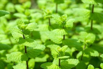 スペアミントの葉