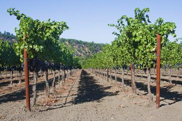 Grapewine in Napa Valley, California