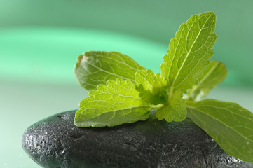 Stevia Rebaudiana Süßkraut Close Up Blatt auf Stein