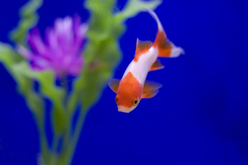 Goldfish with a blue background