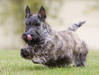 allure gaie du jeune scottish terrier