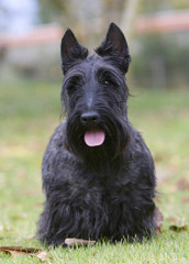 scottish terrier solide de face