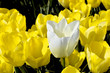 Single white tulip in a field of yellow flowers