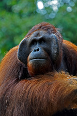 Big Orangutan Male