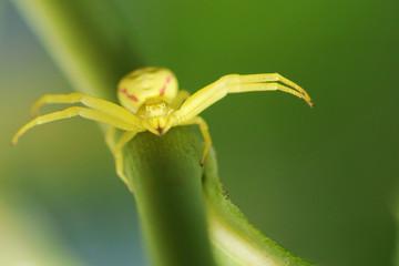Drohung einer gelben Krabbenspinne