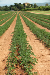 field of tomatoes