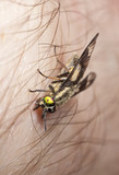 Twin-lobed deerfly (Chrysops relictus) opening up a wound. poster