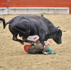 Bull Trampling Forcado