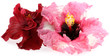 hibiscus, fond blanc