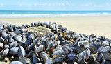 eatable mussels on a sea coast poster