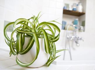 chlorophytum dans salle de bain
