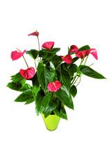 anthurium rouge en pot vert décoratif sur fond blanc