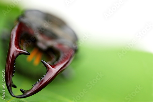 Mighty fighter stag beetle on green leaf background