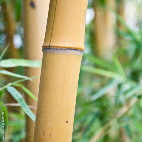 In de dag Bamboo gros bambous