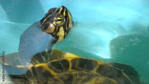 Yellow Bellied Slider Closeup