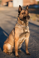 Sunset on a Malinois