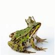 Leinwanddruck Bild - Froschkönig