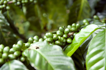 Plantación de café en Costa Rica