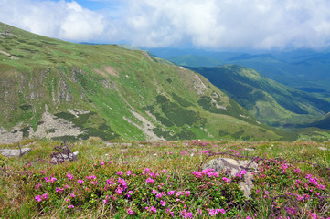Rhododendron flowers in summer mountain