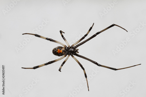 Young_Black_Widow_Spider_Isolated_on_White - 24635497