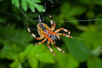 Spider on spider-web 16