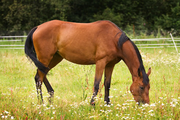 Hannoveraner horse walking on grass field