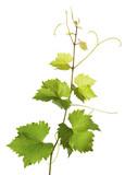 Fototapety Branch of grape vine on white background