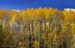 closeup shot of Aspen trees