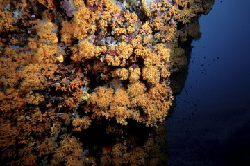 margherite di mare mediterraneo