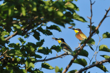 two bee eaters