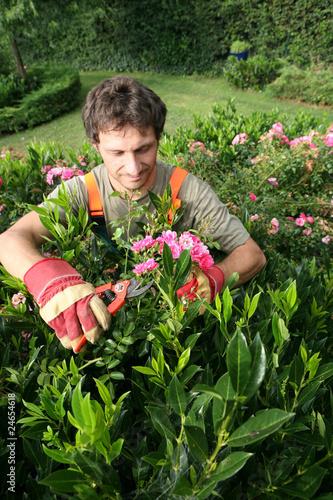 le jardinier paysagiste taille un rosier buisson photo. Black Bedroom Furniture Sets. Home Design Ideas
