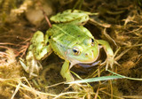 green frog in a water, awaiting  insects poster