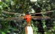 libellule rouge - 24661437